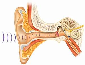 Parts Of The Ear Diagram Quiz