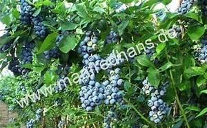 Heidelbeere Im Kübel : heidelbeere bluecrop vaccinum corymbosum ~ Lizthompson.info Haus und Dekorationen