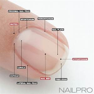 Nail Anatomy  A Professional Primer On The Parts Of The