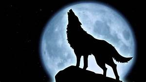 Florida black wolf facts - YouTube