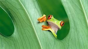 Full HD Wallpaper jungle frog amusing exotic amphibian