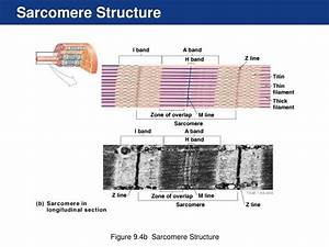 Sarcomere Diagram Labeled