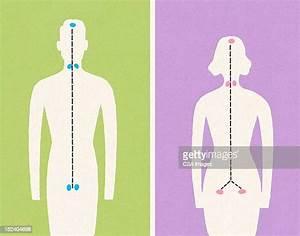 Female Anatomy Diagram High Res Illustrations