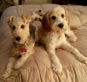 The gallery for --> Wire Fox Terrier Poodle Mix