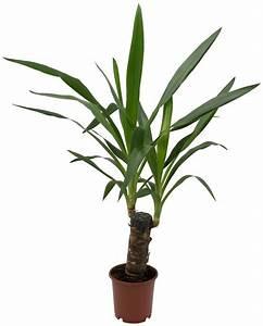 Yucca Palme Winterhart : dominik zimmerpflanze yucca palme h he 30 cm 1 ~ A.2002-acura-tl-radio.info Haus und Dekorationen