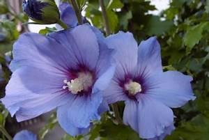 Hibiskus Pflege Zimmerpflanze : der richtige standort f r ihren hibiskus hibiskus pflege ~ A.2002-acura-tl-radio.info Haus und Dekorationen