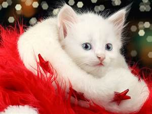 Merry Christmas Beautiful Cat Collection HD Wallpaper ...
