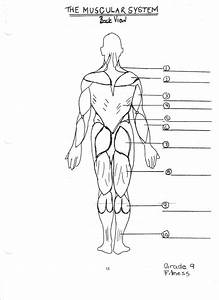 Unlabeled Muscular System Diagram   Unlabeled Muscular