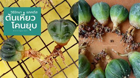 โรค อาการป่วย และการรักษา ของกระบองเพชร (Cactus) ไม้อวบน้ำ ...