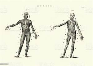 Antique Anatomical Diagram Muscles Of The Human Body 19th