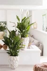 Zimmerpflanzen Für Schlafzimmer : einblatt ist zimmerpflanze des monats juni ~ A.2002-acura-tl-radio.info Haus und Dekorationen