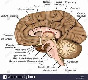Human Brain Anatomy 3d Vector Illustration On White