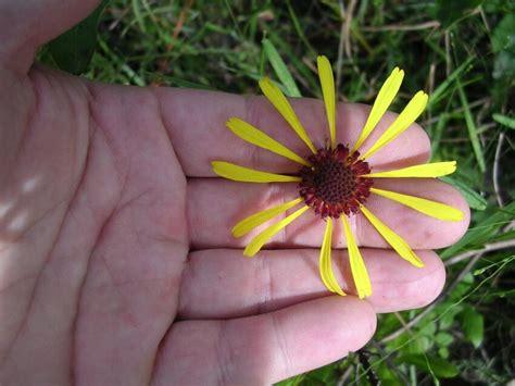 รูปภาพฟรี: balduina, atropurpurea สีม่วง รังผึ้ง gead