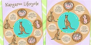 Life Cycle Diagrams Of A Kangaroo