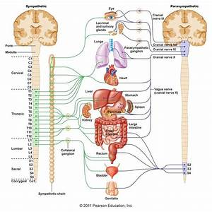 Human Spinal Cord Diagram Labeled Human Spinal Cord