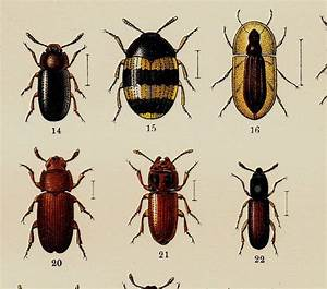 1869 Antique Beetle Engraving  Different Species Of