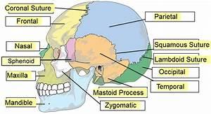 Wiring Diagram Database  Blank Skull Diagram To Label