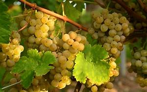 Grapes HD Wallpapers Free Download – One HD Wallpaper ...