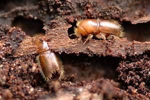 Insecte Qui Mange Le Bois : scolyte de gros d g ts sur les arbres ~ Farleysfitness.com Idées de Décoration