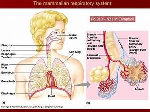 Fetal Pig Respiratory System Labeled