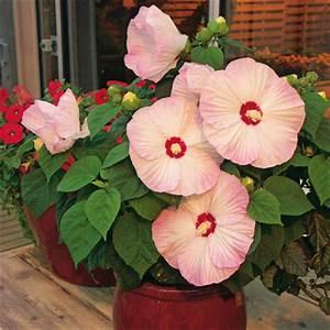 Riesen Hibiskus Kaufen : riesen hibiskus luna blush f1 von g rtner p tschke auf kaufen ~ Watch28wear.com Haus und Dekorationen