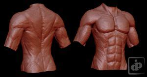 Human chest anatomy anatomical skeleton muscles man skeleton anatomy shoulder muscle anatomy clavicle and ribs anatomy sternocleidomastoid 4k00.203d female or woman anatomy. Low poly Clot by Dipnusurf on DeviantArt