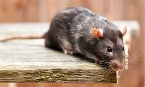 Hausmittel Gegen Mäuse : bek mpfung von m usen unsere tipps ~ Lizthompson.info Haus und Dekorationen