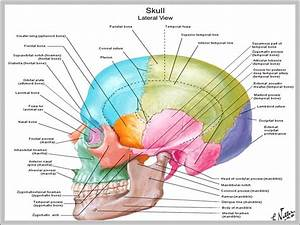 Unlabeled Skull Diagram