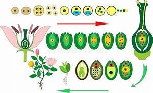 Het Levenscyclus Van Tomatenplant Stadia Van De Groei Van