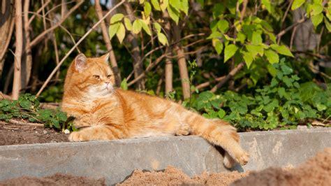 Pazudis Britu īsspalvainais kaķis   IKSKILE.COM