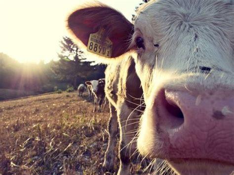Šis gads piena nozarē Latvijā varētu būt mierīgs, tā LOSP ...
