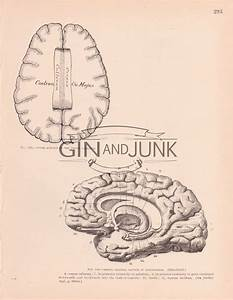 Antique Diagram Of Various Aspects Of The Human Brain From
