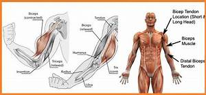 The Effects Of A Bicep Injury And Steps To Avoid Them