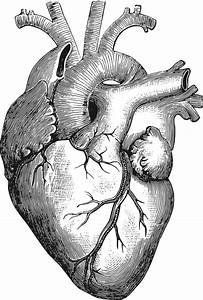 Library Of Anatomically Correct Heart Clip Freeuse Png