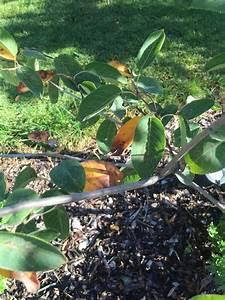 Stockrosen Blätter Haben Löcher : gelbe bl tter mit schwarzen punkte an felsenbirne was ~ Lizthompson.info Haus und Dekorationen