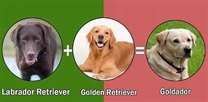Top, 10, Labrador, Retriever, Cross, Breeds, Disigner, Breed