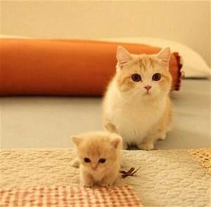 20 + Munchkin Cat Pictures | FallinPets