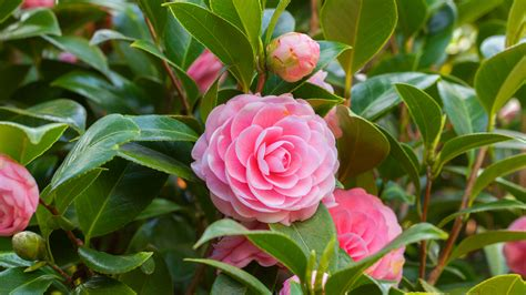 Floare Camelia - Ingrijire, Intretinere (Camellia Japonica) Inmultire