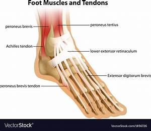 30 Foot Diagram Tendons