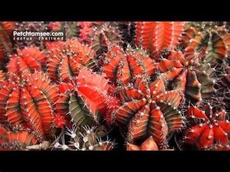 Petchtamsee 3   Cactus, Plants, Thailand