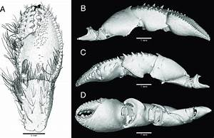 Pagurus Fraserorum N  Sp   Drawing And Microct Images Of