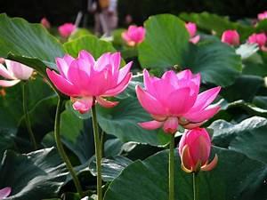 Flowers Lover Blog: Lotus Flowers Legends