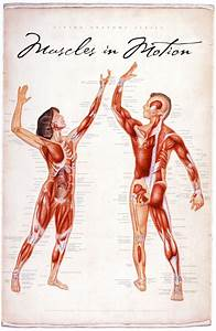 Muscles In Motion  Living Anatomy Chart Series   U2013 Products