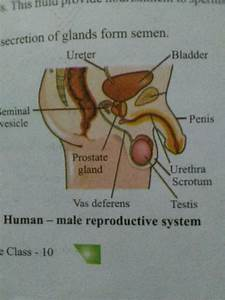 Draw A Labeled Diagram Of    I  Male Reproductive System