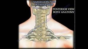 Anatomy Of The Neck  U0026 Cervical Spine