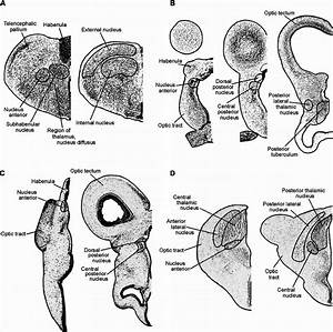 Examples Of Dorsal Thalamic Organization In Selected