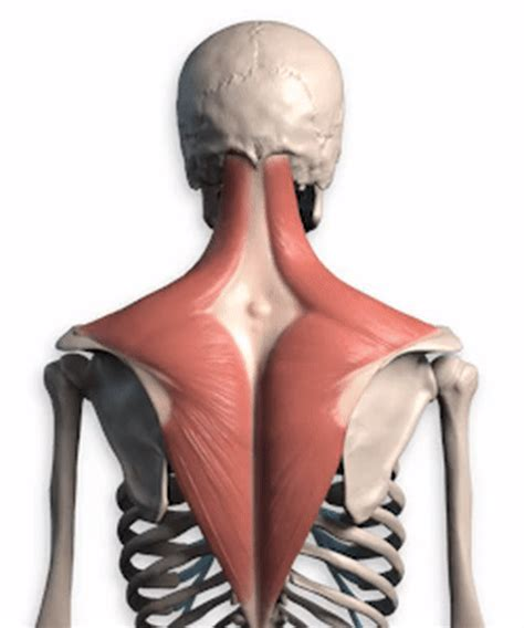 It then stretches downward to near the center of the humerus bone. Upper Back Anatomy Bones - Back Muscles Anatomy And ...