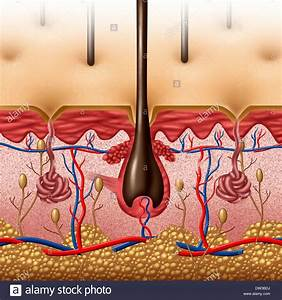 Skin Anatomy Diagram Concept With A Cross Section Of The