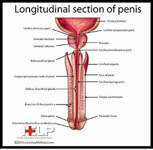 Longitudinal Section Of Penis