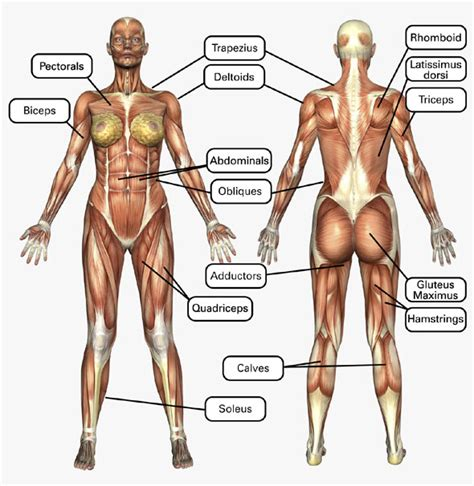 Muscle diagram front and back and inspirational female body diagram. Advanced Skills: Chapter 5